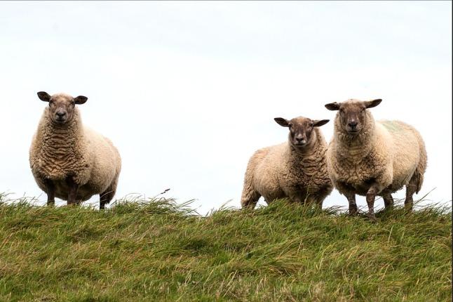 sheep-784561_960_720