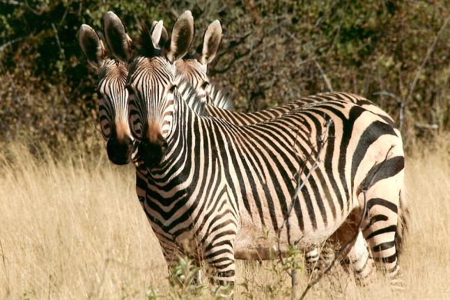 zebra-79255_960_720