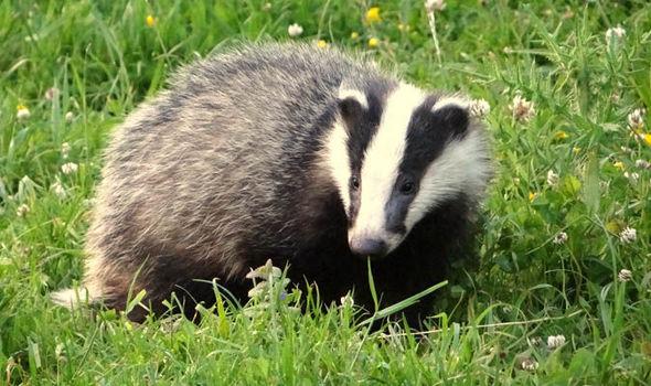 badger-580731