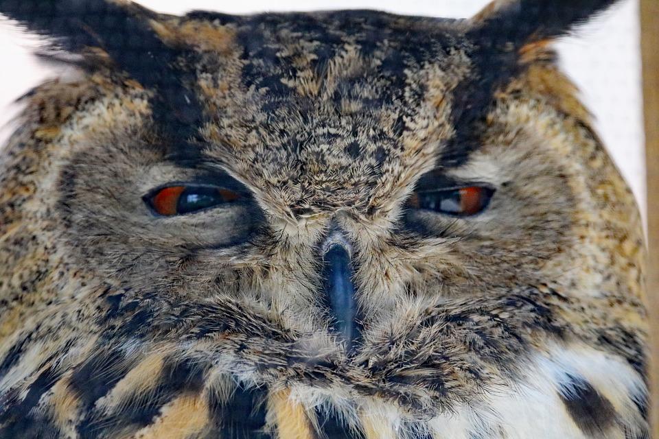 eurasian-eagle-owl-1589693_960_720