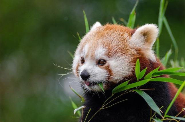 red-panda-1182078_960_720