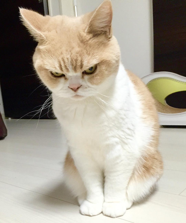 angry-cat-7