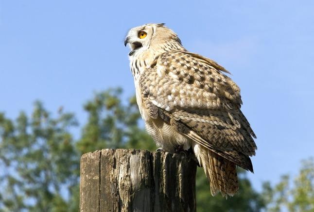 bird-of-prey-1522351_960_720