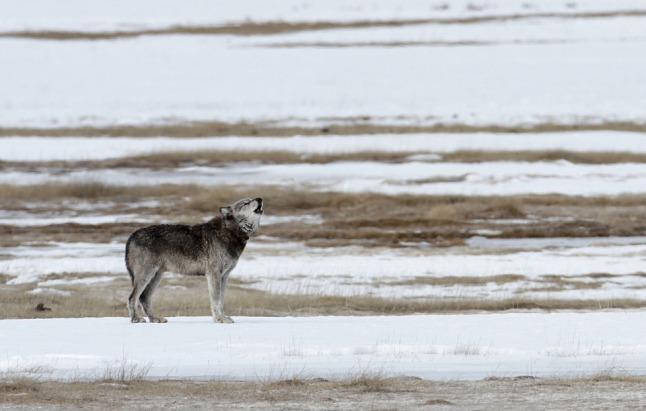 wolf-1802001_960_720