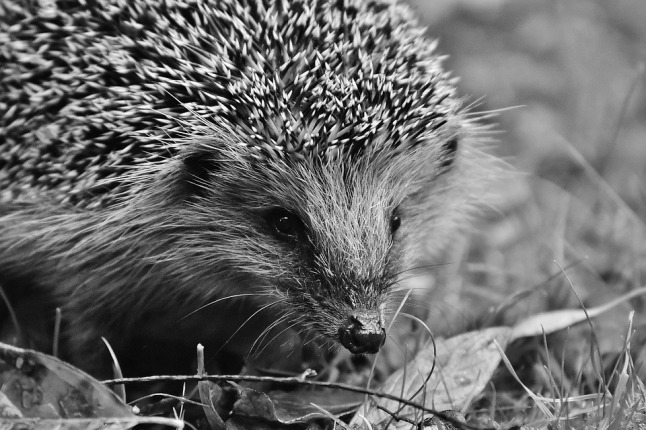 hedgehog-child-1759118_960_720