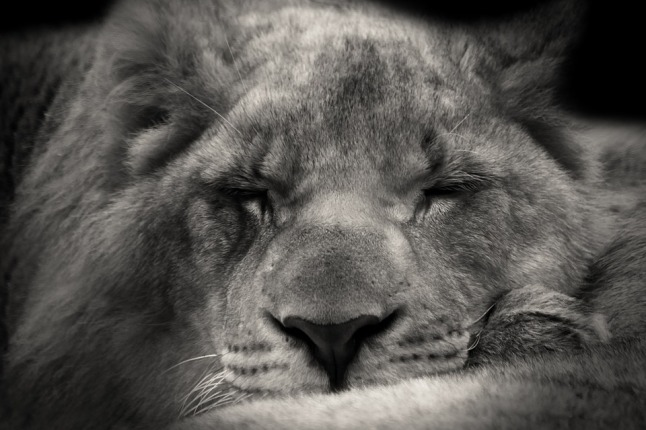 lion-610625_960_720