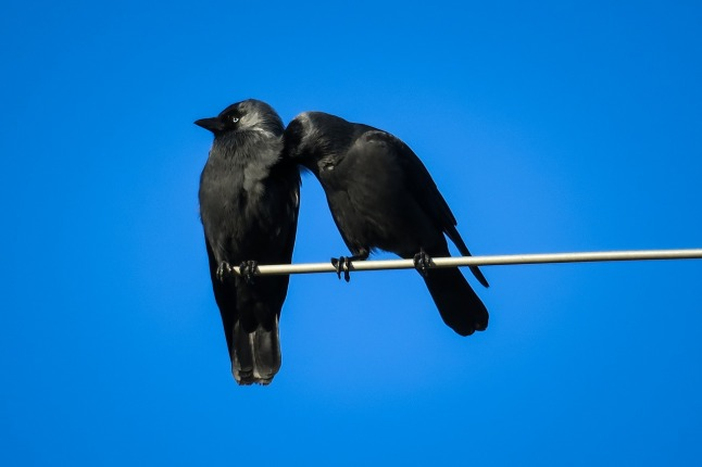 jackdaws-cleaning