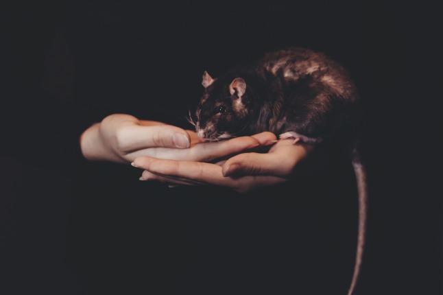 Mustalla taustalla näkyy ihmisen kämmenet, joissa istuu ruskea rotta. Rotan häntä roikkuu paksuna kuvan alareunan yli.