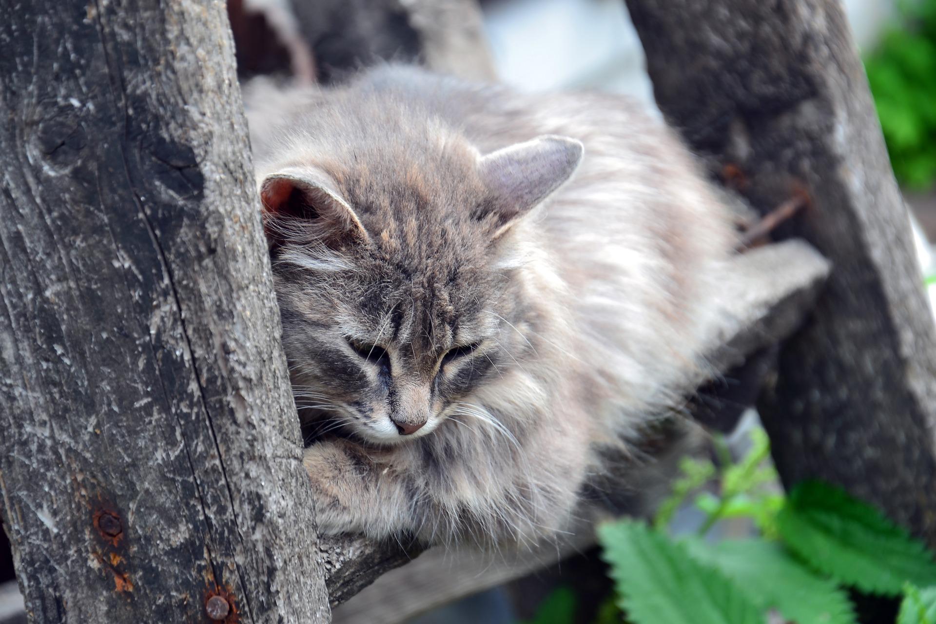 [kuvassa harmaa kissa makoilee kahden puun välissä olevalla laudalla. se katselee alaspäin ja näyttää surulliselta tai väsyneeltä.]