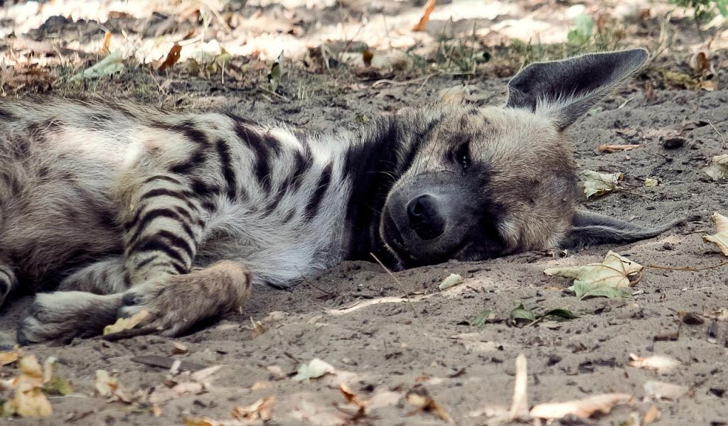 valokuvassa hyeena makaa maassa silmät lähes kiinni, korvat pystyssä
