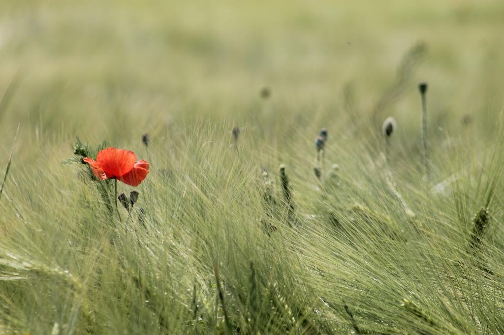 kuvassa vehnää, jonka seassa kasvaa yksi punainen unikko