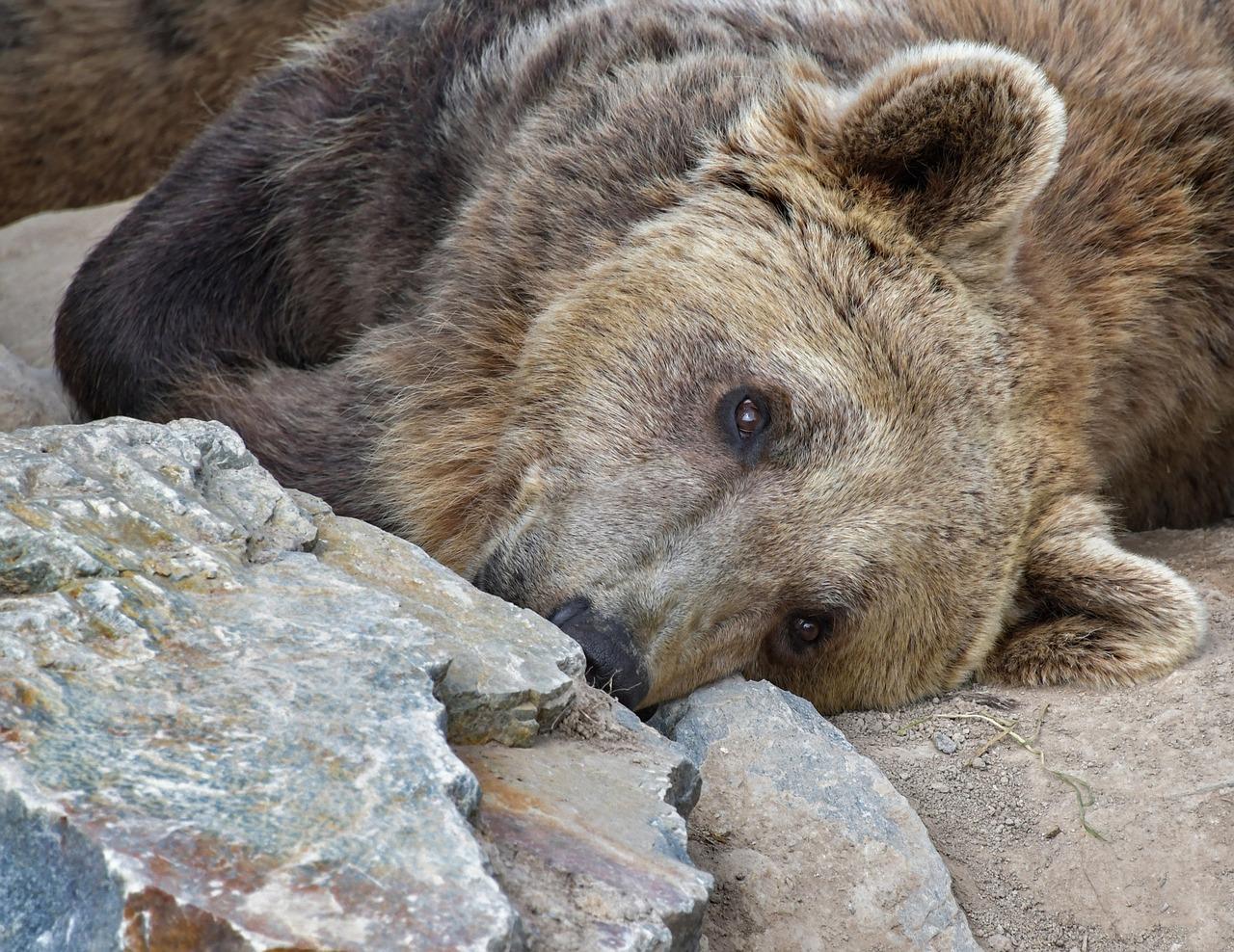 valokuvassa näkyy karhun yläruumis. karhy makaa maassa pää kääntyneenä ja katselee jonnekin yläviistoon.