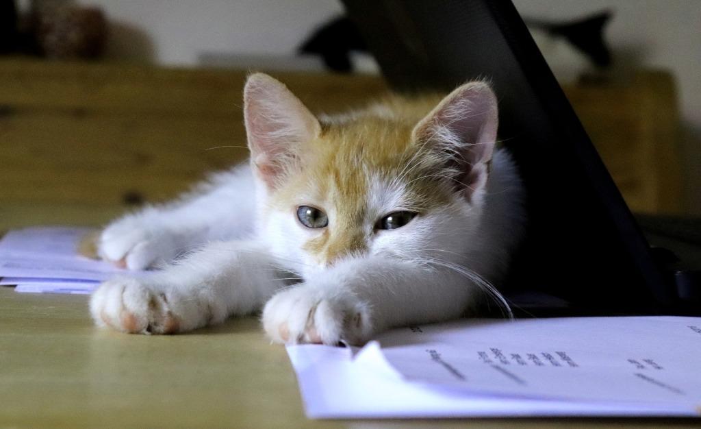 Kuvassa kissanpentu makaa tietokoneen ja paperinivaskojen keskellä.
