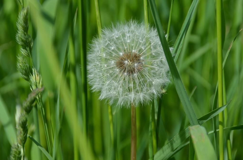 Kuvassa vihreä niitty, jonka keskellä on voikukka. Se ei ole keltainen, vaan täynnä valkoisia, untuvaisia siemeniään.