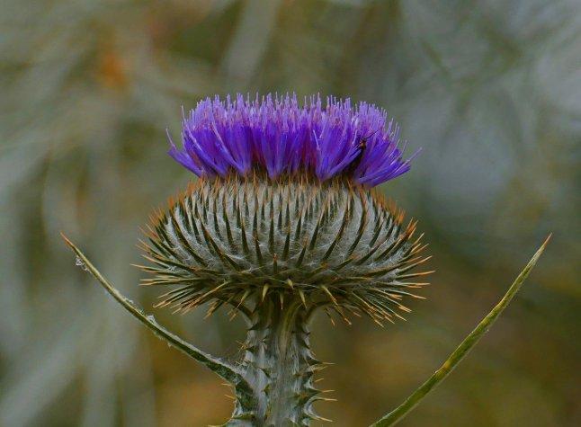 Valokuva kukkivasta ohdakkeesta.